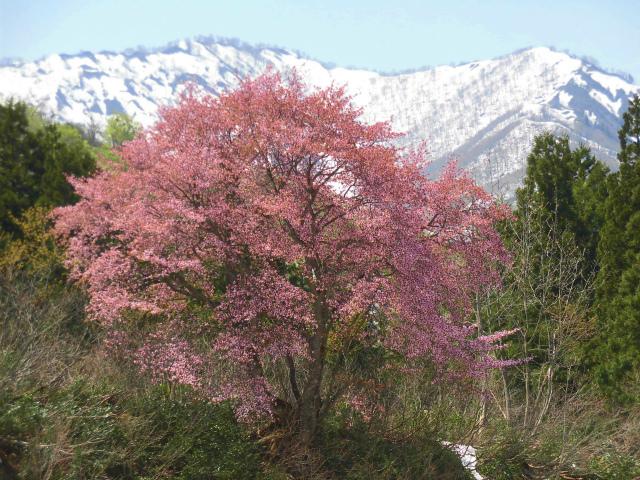 桜 027.jpg